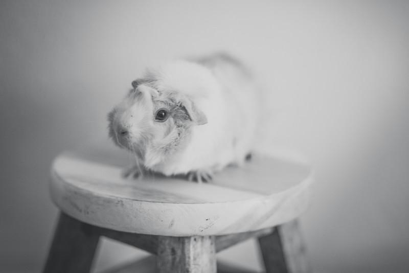 Ginea Pigs-3.jpg