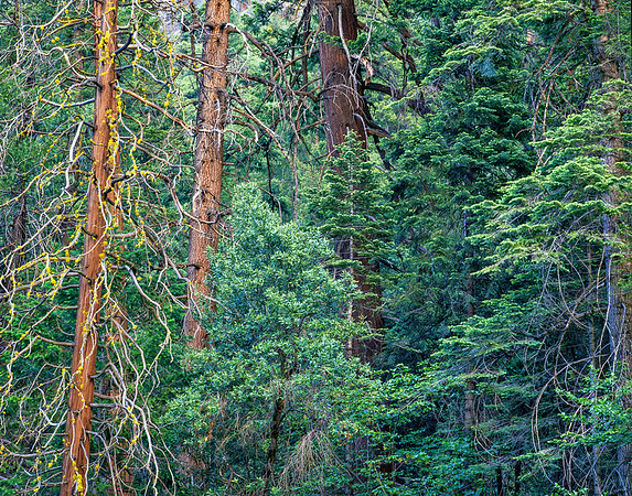 Wilderness Series - AMONG TREES - Between earth and heaven
