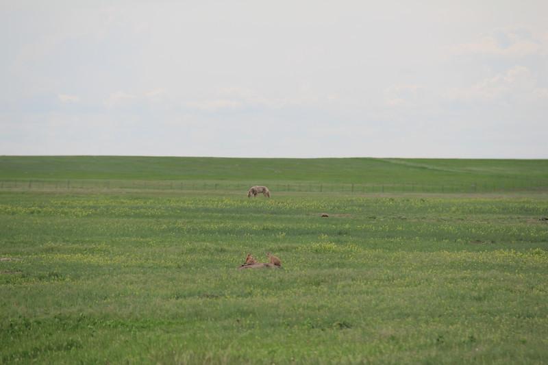 20140523-170-BadlandsNP-PrairieDogsCoyote.JPG