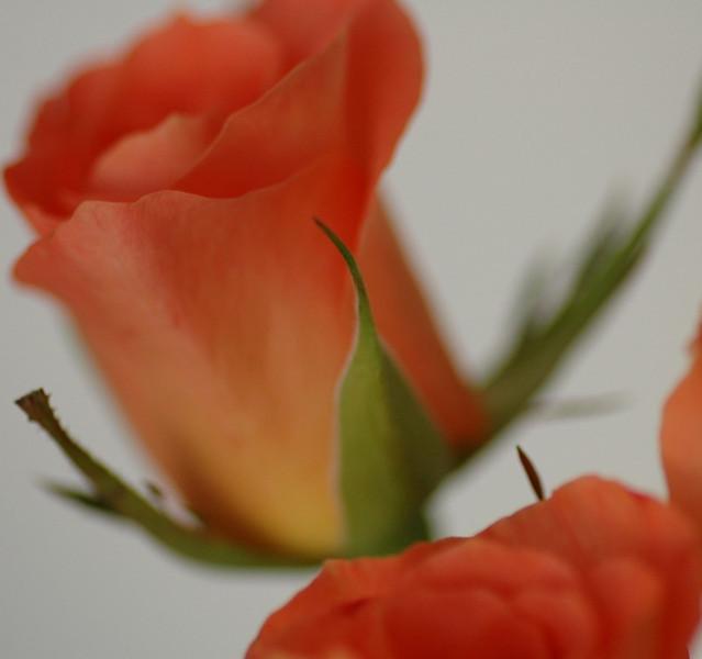 Peach Rose - Prague, Czech Republic