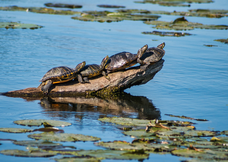Painted Turtles  at North Bay Park