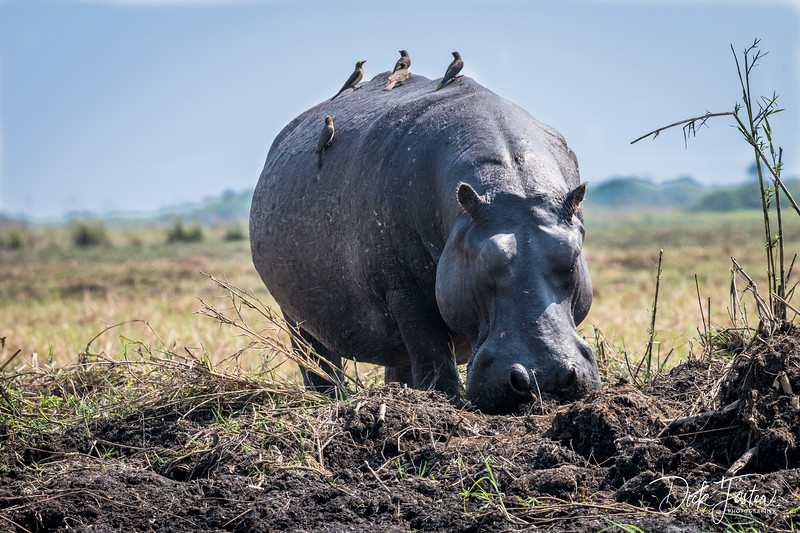 Hippo - With a Little Help from His Friends