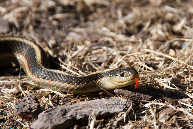 June 25: Garter snake who appeared in my yard and barely missed getting mowed or attacked by dogs.
