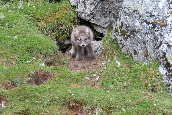 Arctic Fox Kits Svalbard Norway 2018