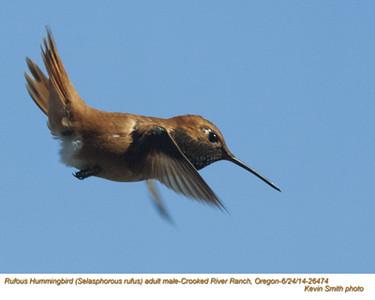 Rufous Hummingbird M26474.jpg