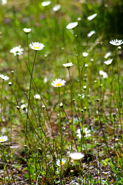 Daisies on the way to the lake