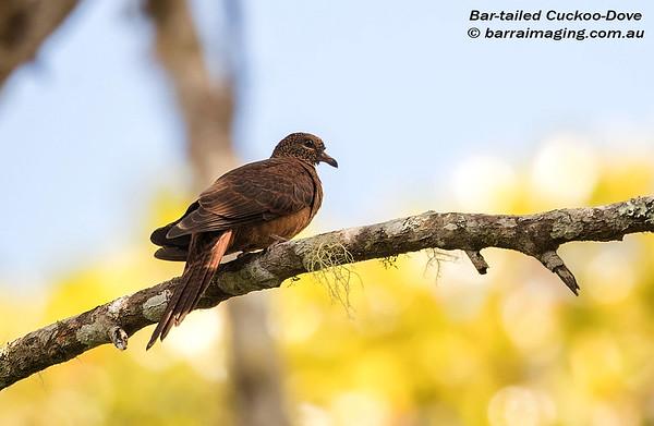 Bar-tailed Cuckoo-Dove Macropygia nigrirostris
