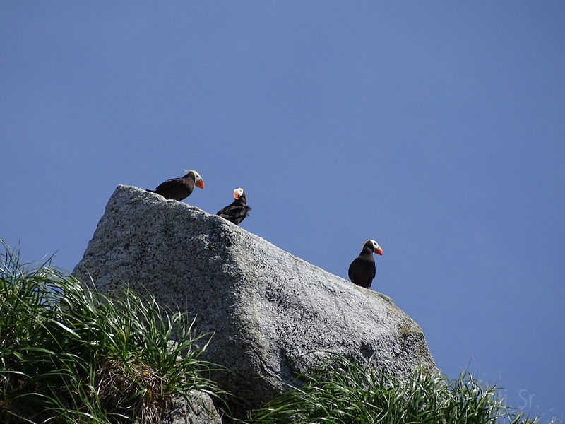 Puffins, Resurrection Bay, Alaska