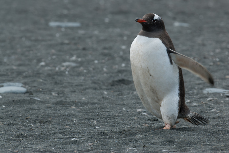 King penguin in Moltke Harbor, South Georgia Island