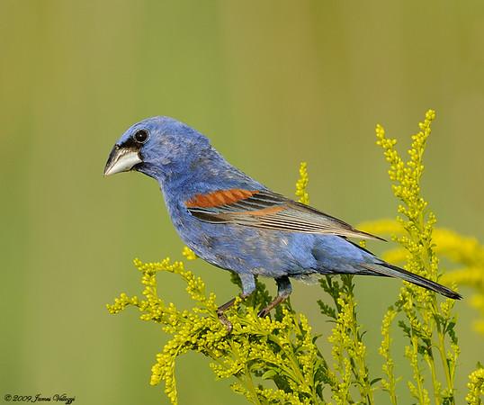 Blue Grosbeak, Passerina caerulea