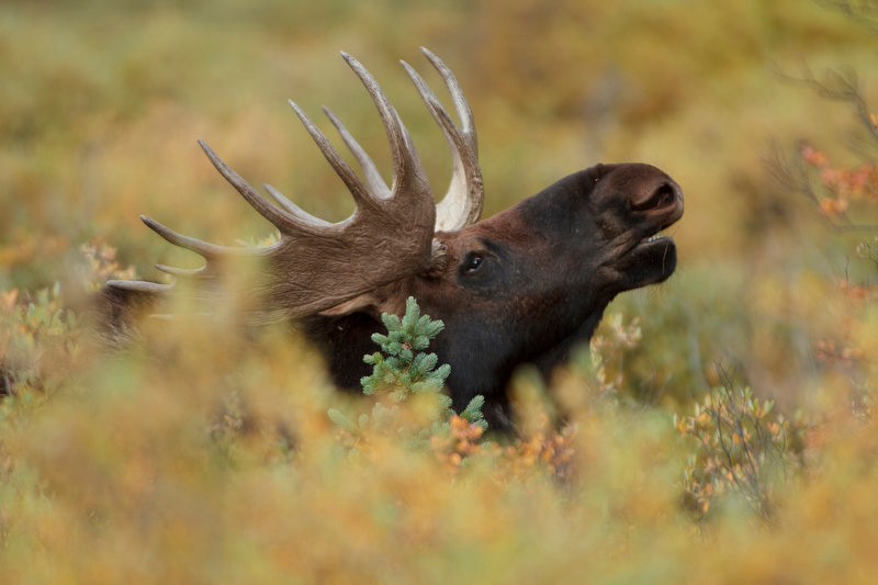 . A bull moose pokes his head out of the brush while roaming through a field near Georgetown, Colorado. (Werner R. Slocum/The Denver Post)
