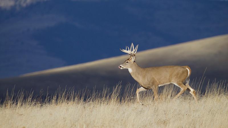 A Whitetail buck traverses the prairie
