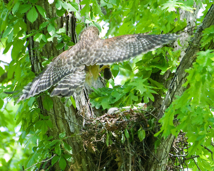 2010 Red Shouldered Hawk Nest 8088