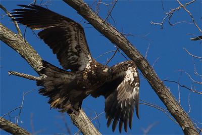 New York Bald Eagles