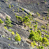Kanarische Kiefern - Pinus canariensis - im Vulkan San Antonio in La Palma