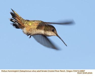 Rufous Hummingbird F28897.jpg