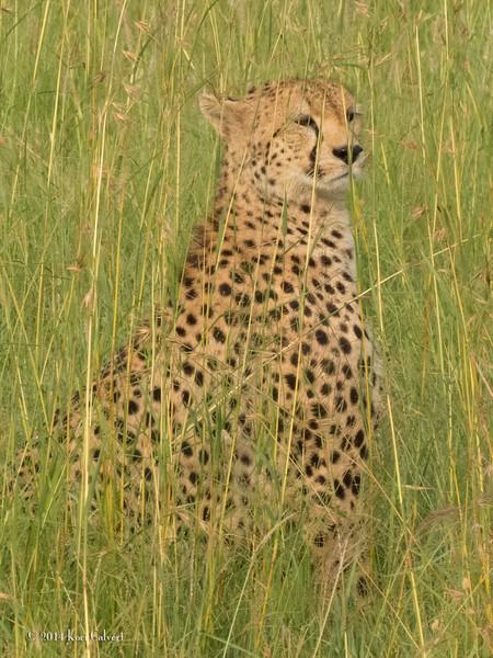 CheetahK-4.jpg