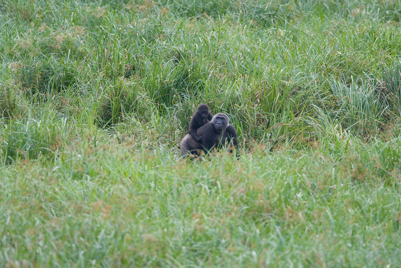 Young gorilla and mother.