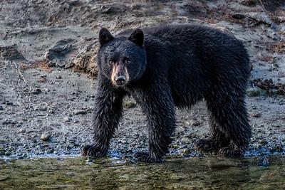 Alaska Black Bears