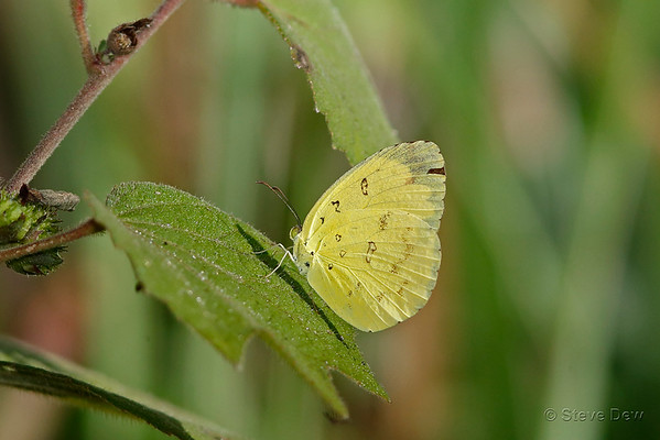 Small Grass-yellow