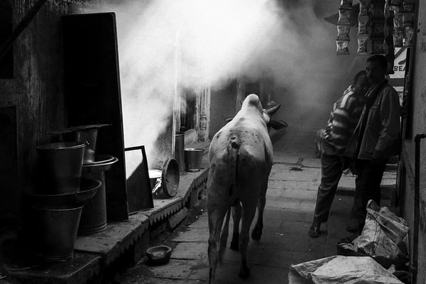 Sacred Cows of Varanasi