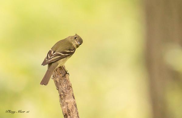 Yellow-bellied Flycatcher_DWL2720.jpg