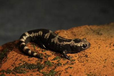 005 Marbled salamander