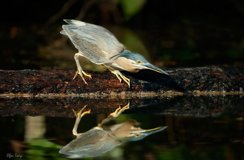 Mangrove Heron MASTER.jpg