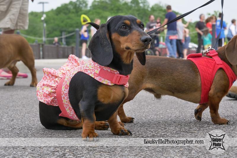 Belterra Park 2017 Wiener Dog Races-6.jpg