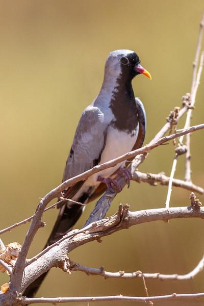 Namqaue Dove