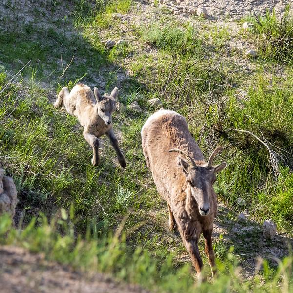 galloping lamb w mama-3079.jpg