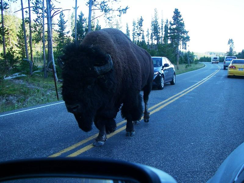 Yellowstone's king - buffalo.