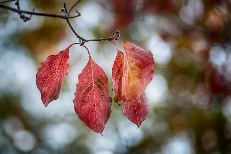 Fall Dogwood Leaves