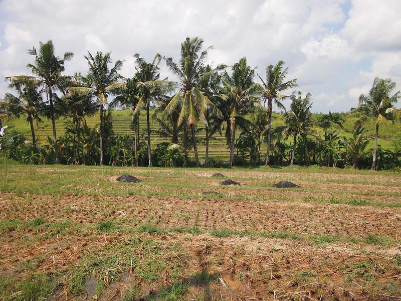 P5137990-ricefields.JPG