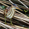 Least Bittern - Green Cay Wetlands - Boynton Beach, FL