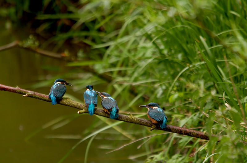 A Line Of Kingfishers