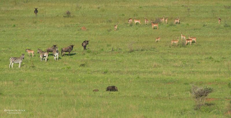 Bush Pig, Impala, Zebra and Wildebeest, Ithala NP, KZN, SA Jan-2014-1.jpg