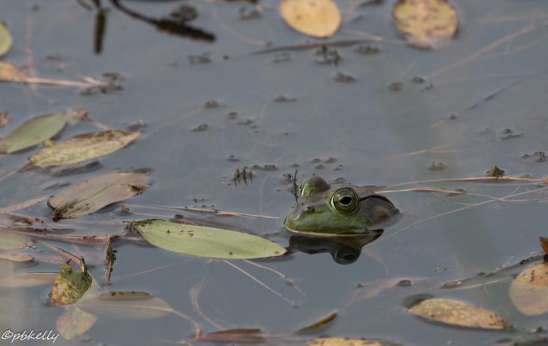 frog 072615.jpg
