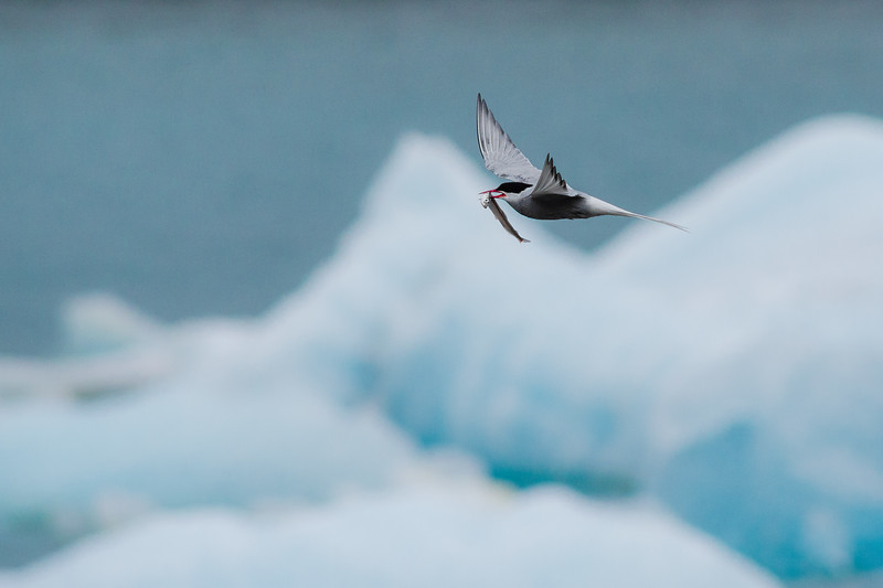 Arctic Tern, Jökulsárlón