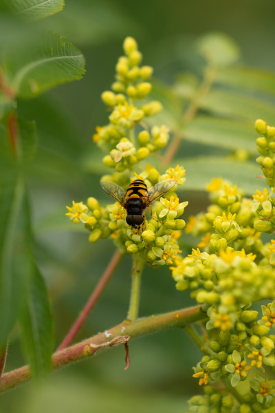 Transverse-banded Flower Fly (Eristalis transversa) on Goldenrod, in Area 5 (Photo by Chelsea Marcantonio)