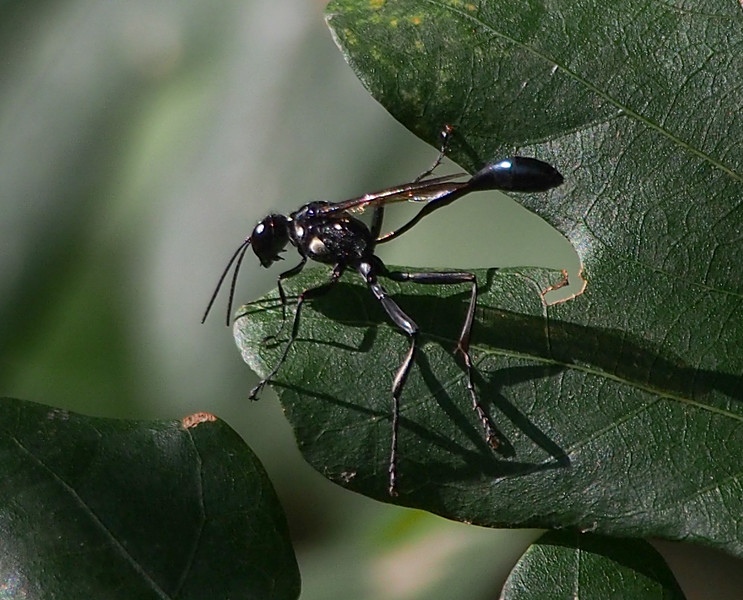 Sphecid wasp (Eremnophila aureonotata)