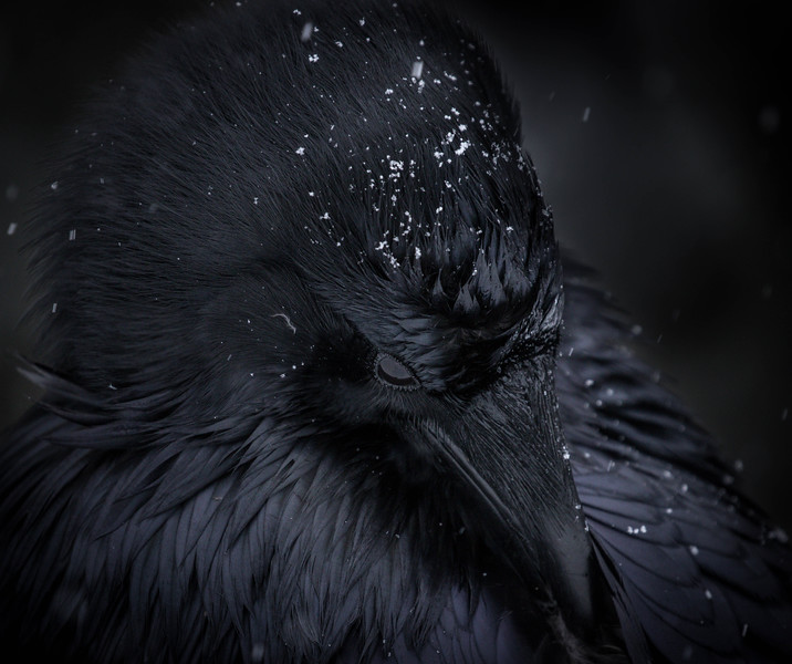 Preening raven, Banff National Park