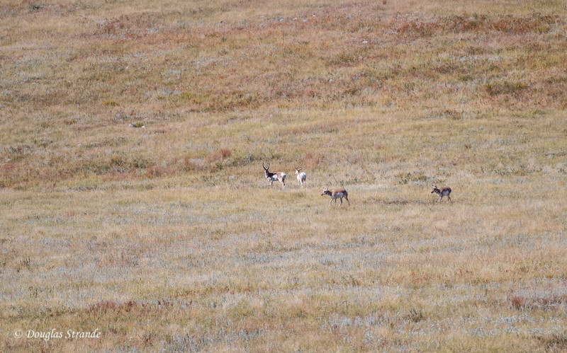 "Where the ""Antelope"" (Pronghorn) Play"