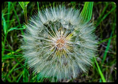 Huff Puff, Tragopogon seeds