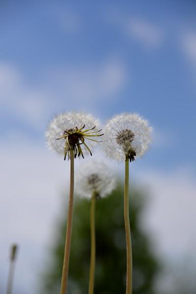 dandelionseeds2.jpg