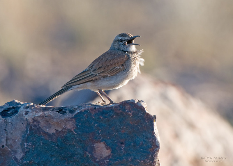Karoo Long-billed Lark, Fish River Canyon, Namibia, Jul 2011 (1).jpg
