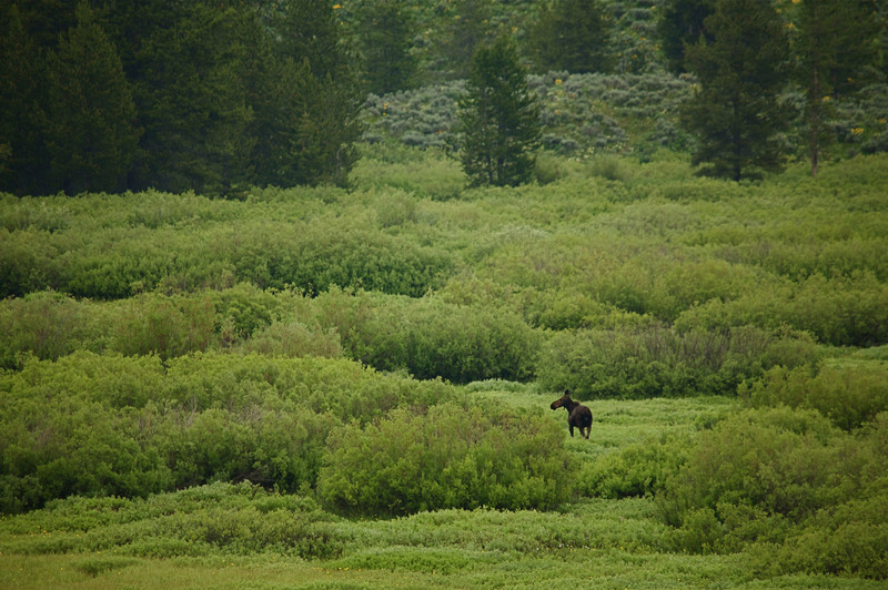 Cow moose in habitat, Grand Teton National Park