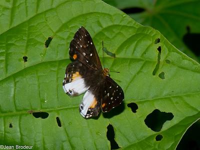 Papillons de Guyane francaise, suite