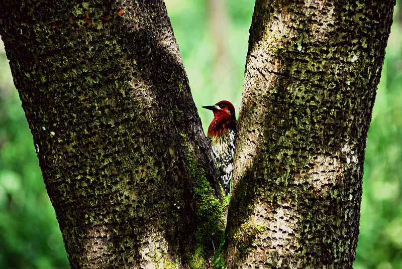 Red Breasted Sapsucker Seattle, WA