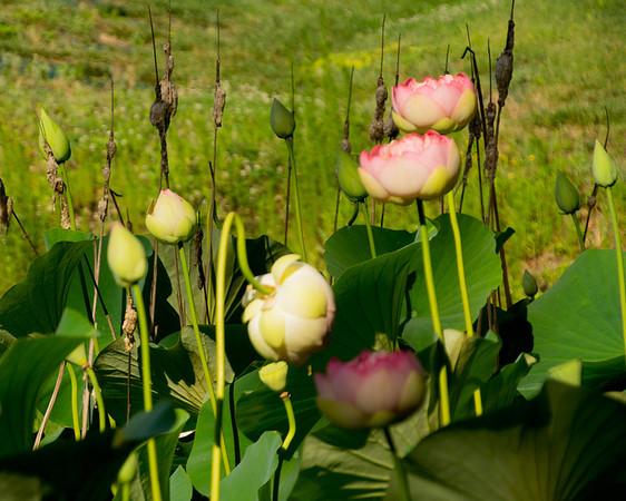 Stonebridge Lily Pond
